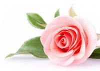 Rosen-Öl - SAKURA - Der Duft der Liebe und Zärtlichkeit. Harmonisierend und antidepressiv