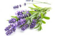Lavendel-Öl - SAKURA - Nervenstärkend, beruhigend. Löst seelische Verkrampfungen.